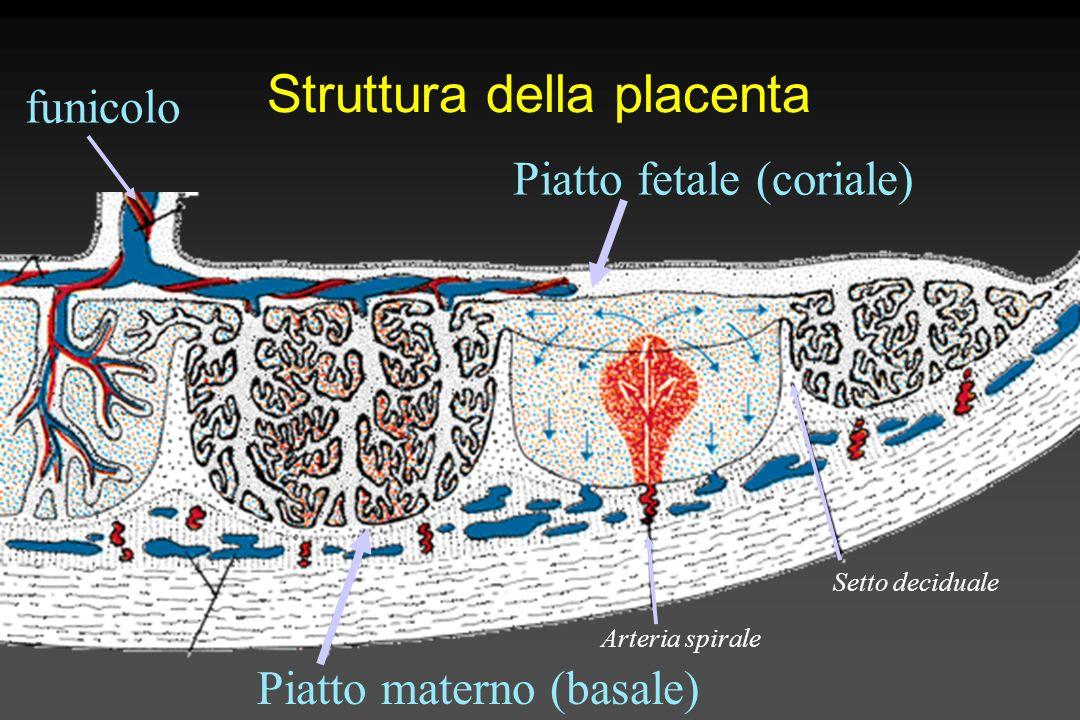Struttura della placenta