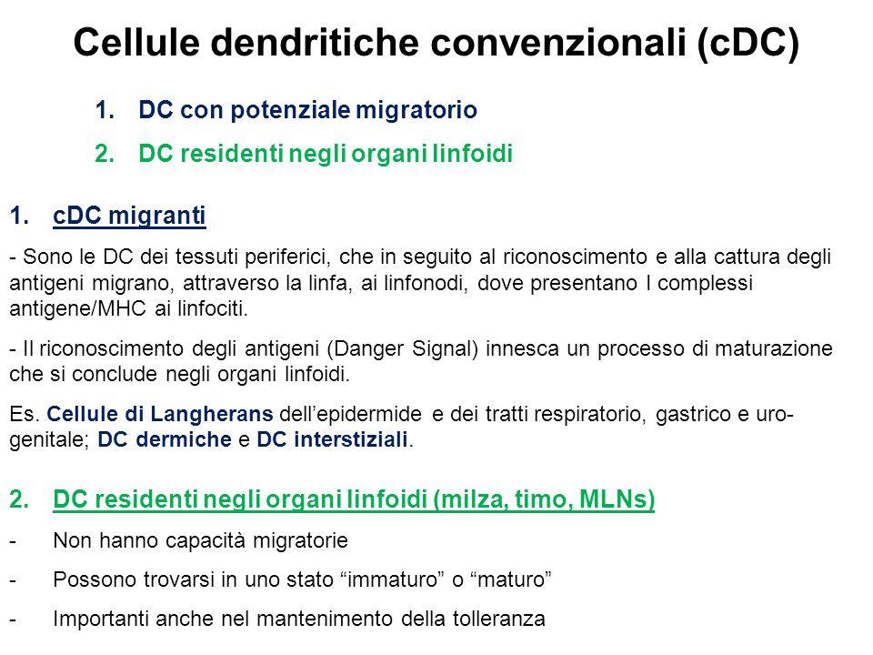 Cellule dendritiche convenzionali (cDC)