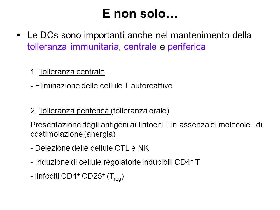 E non solo… Le DCs sono importanti anche nel mantenimento della tolleranza immunitaria, centrale e periferica.