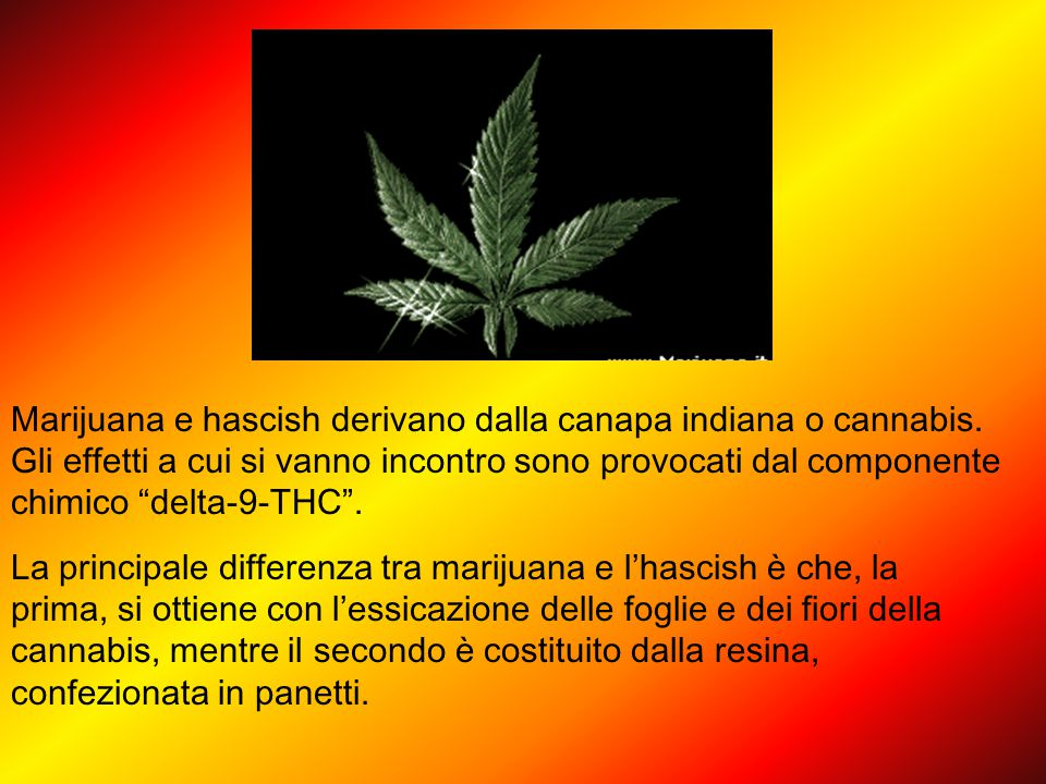 Marijuana e hascish derivano dalla canapa indiana o cannabis.