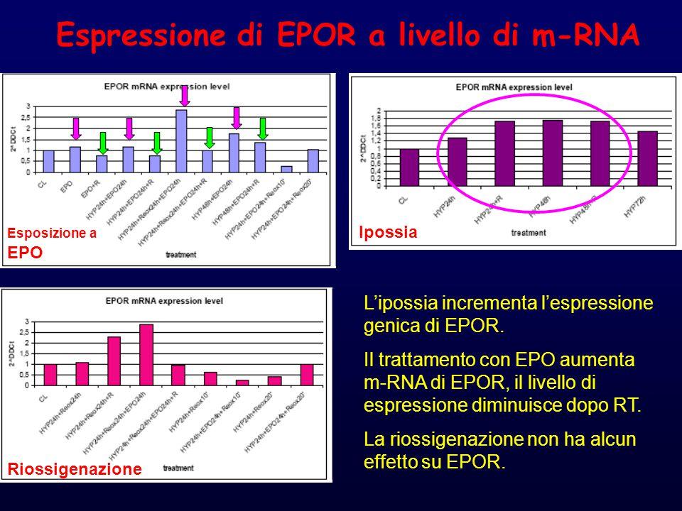 Espressione di EPOR a livello di m-RNA