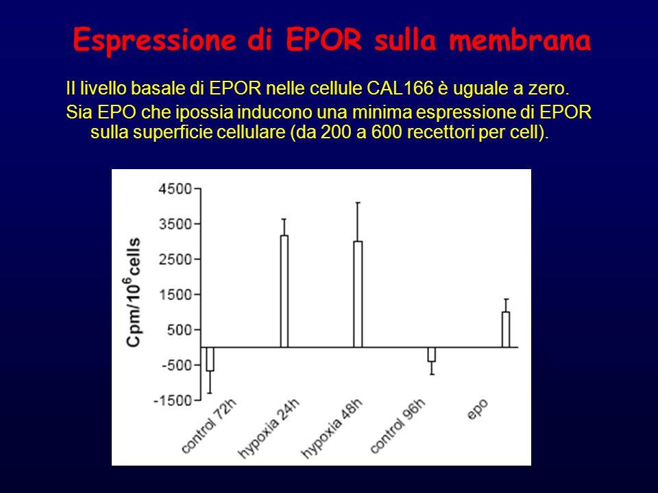 Espressione di EPOR sulla membrana