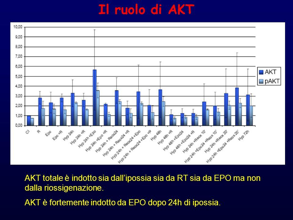 Il ruolo di AKT AKT totale è indotto sia dall'ipossia sia da RT sia da EPO ma non dalla riossigenazione.