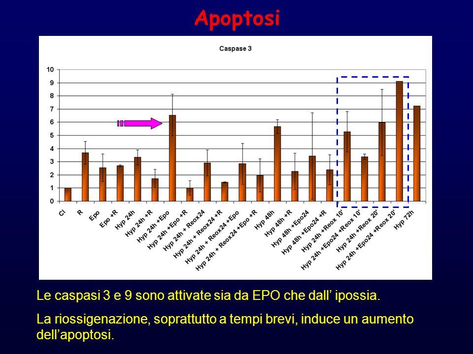 Apoptosi Le caspasi 3 e 9 sono attivate sia da EPO che dall' ipossia.