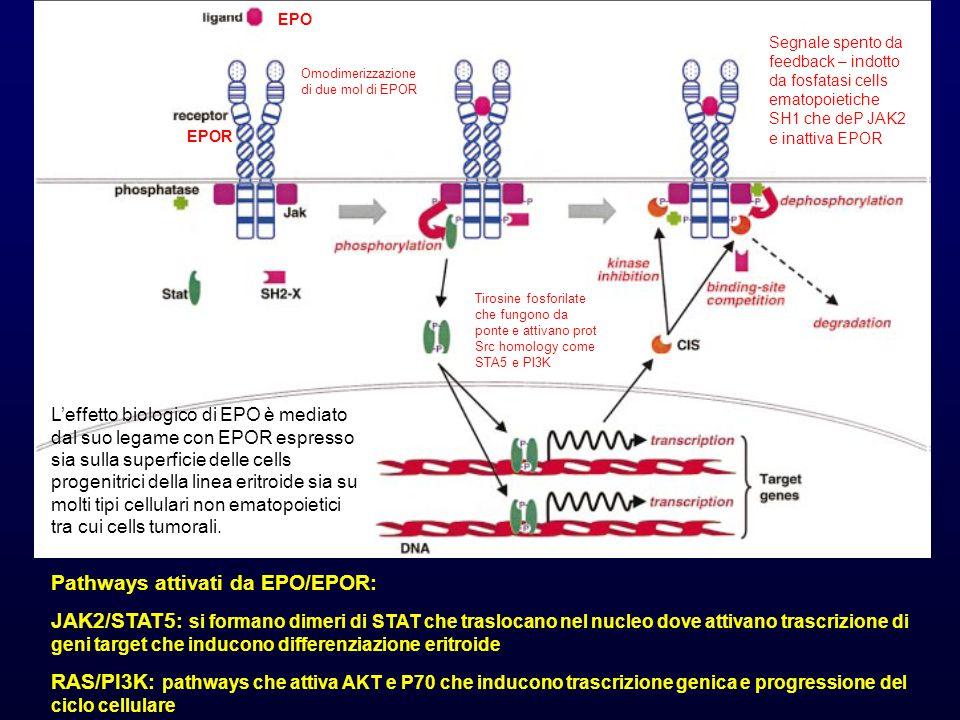 Pathways attivati da EPO/EPOR: