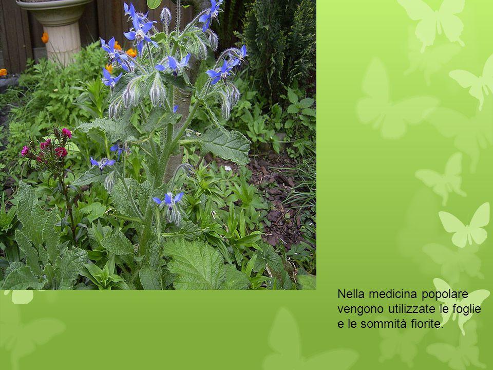 Nella medicina popolare vengono utilizzate le foglie e le sommità fiorite.