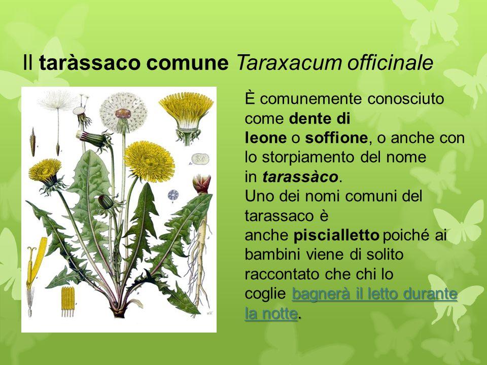 Il taràssaco comune Taraxacum officinale