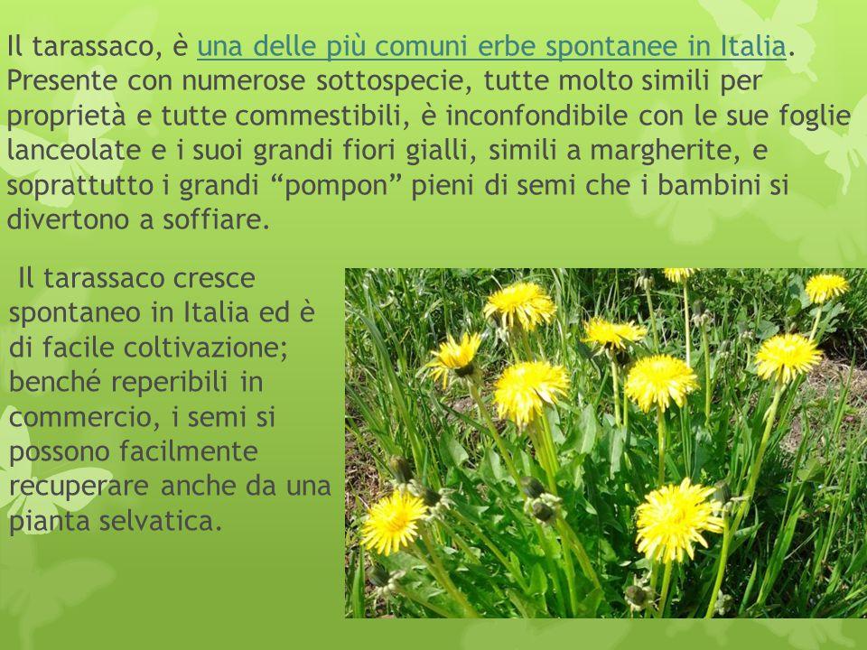 Il tarassaco, è una delle più comuni erbe spontanee in Italia