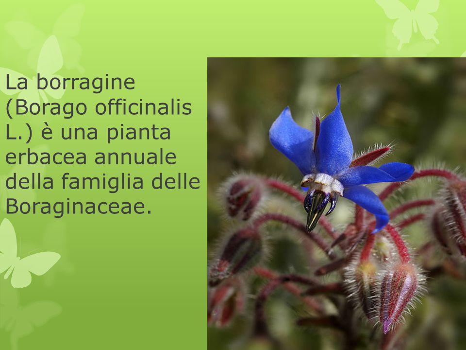 La borragine (Borago officinalis L