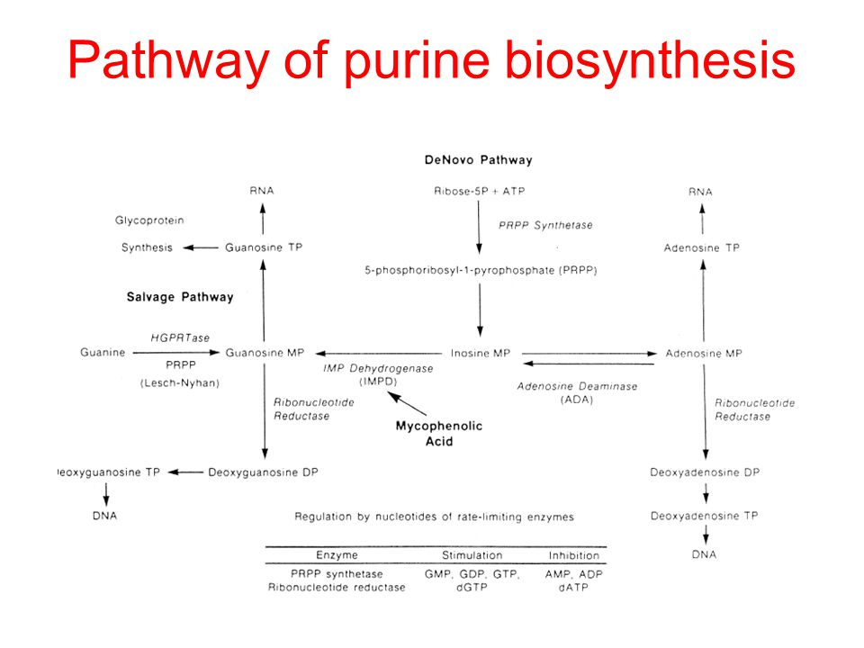 Pathway of purine biosynthesis