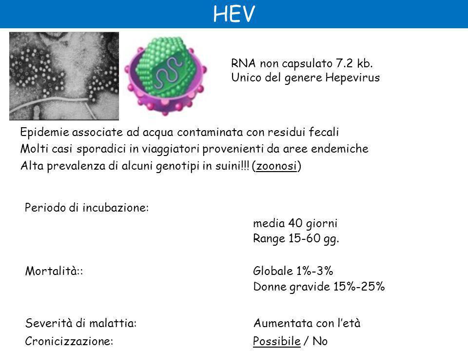 HEV RNA non capsulato 7.2 kb. Unico del genere Hepevirus