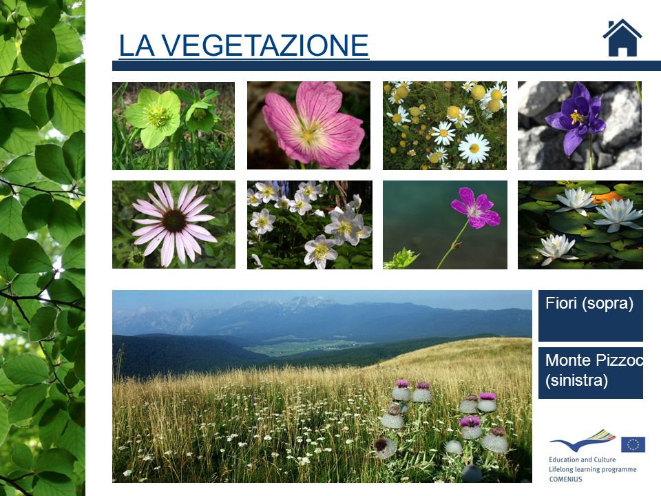 LA VEGETAZIONE Fiori (sopra) Geranium palustre Monte Pizzoc (sinistra)