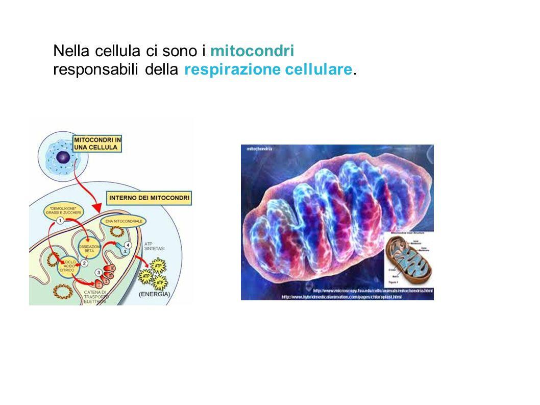 Nella cellula ci sono i mitocondri