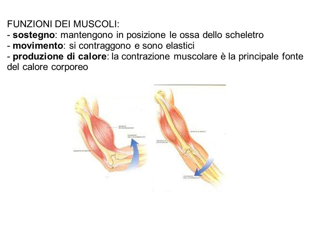 FUNZIONI DEI MUSCOLI: - sostegno: mantengono in posizione le ossa dello scheletro. - movimento: si contraggono e sono elastici.