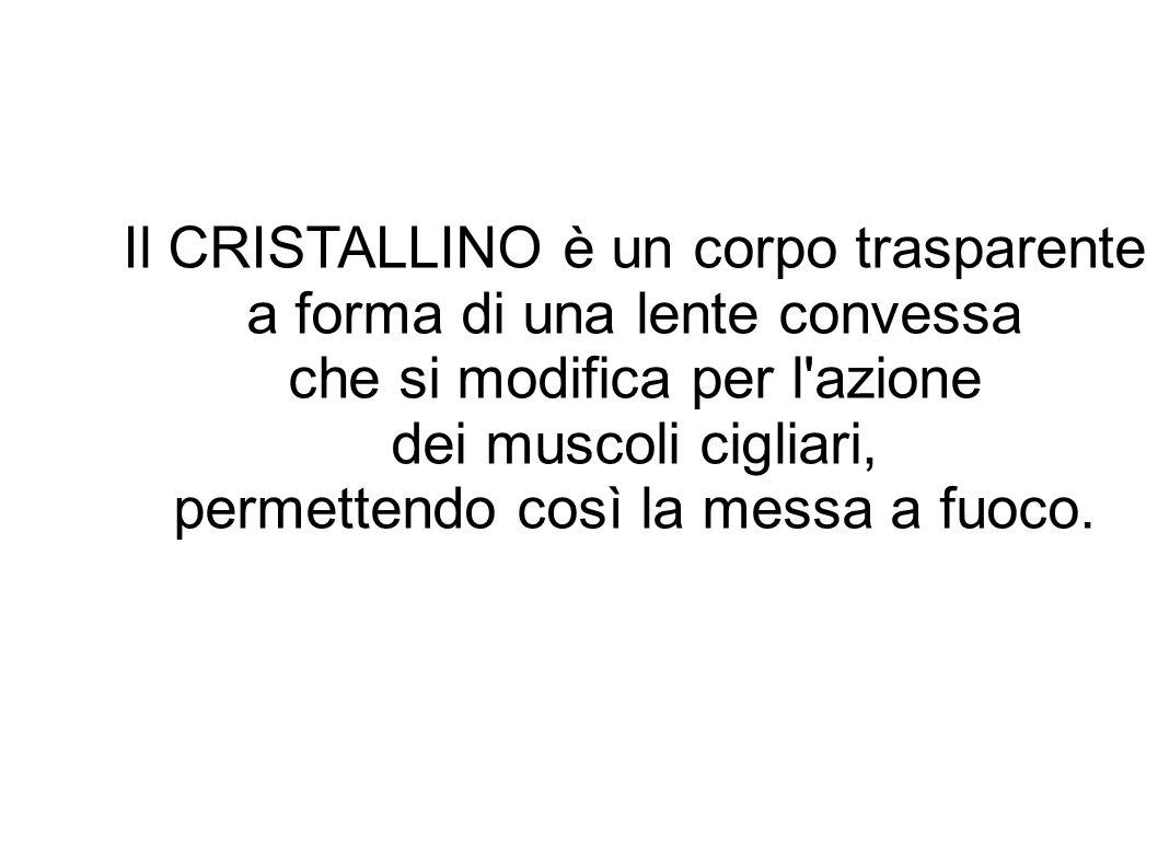Il CRISTALLINO è un corpo trasparente a forma di una lente convessa
