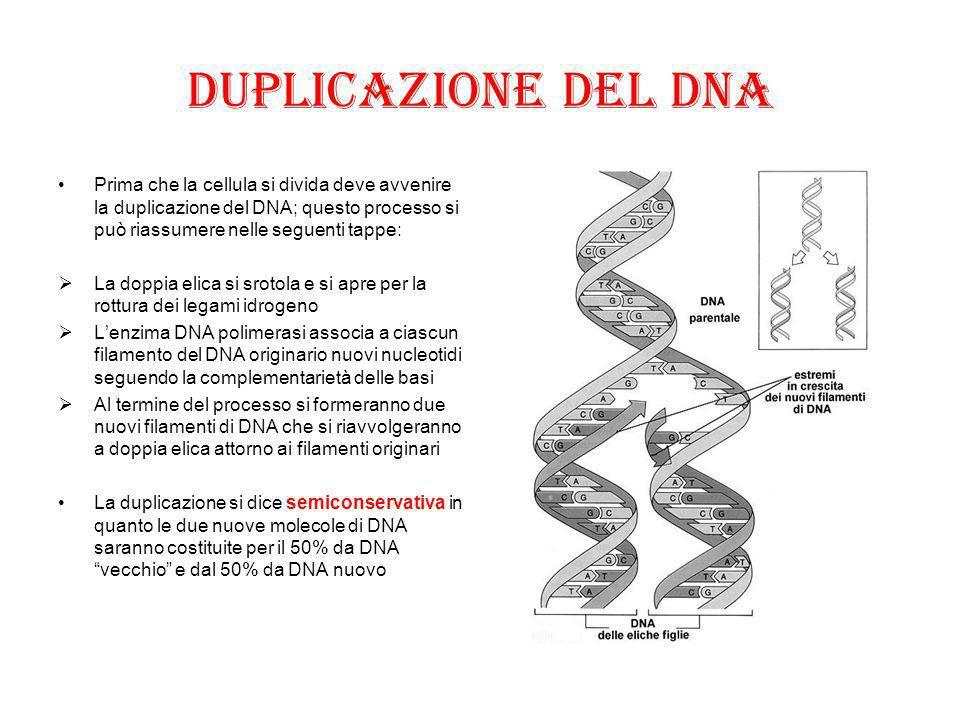 Duplicazione del DNA Prima che la cellula si divida deve avvenire la duplicazione del DNA; questo processo si può riassumere nelle seguenti tappe: