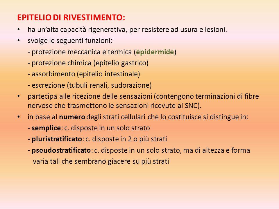 EPITELIO DI RIVESTIMENTO: