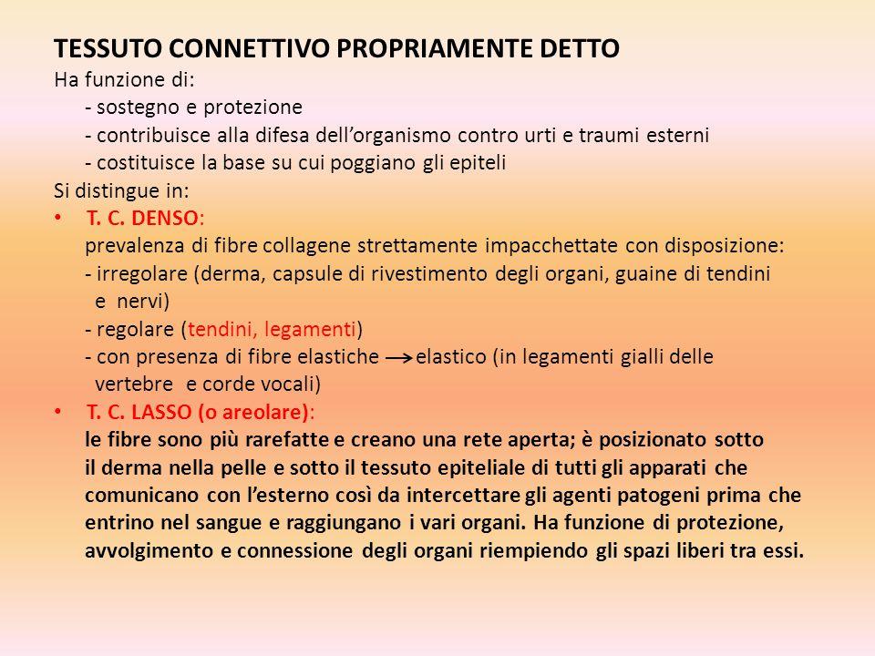 TESSUTO CONNETTIVO PROPRIAMENTE DETTO