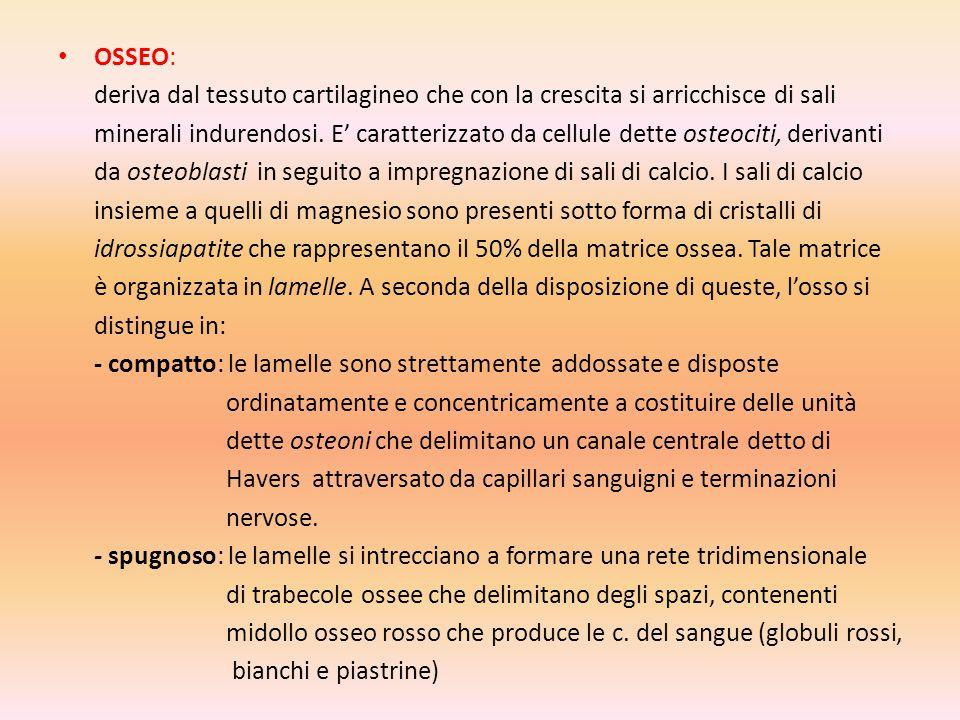 OSSEO: deriva dal tessuto cartilagineo che con la crescita si arricchisce di sali.