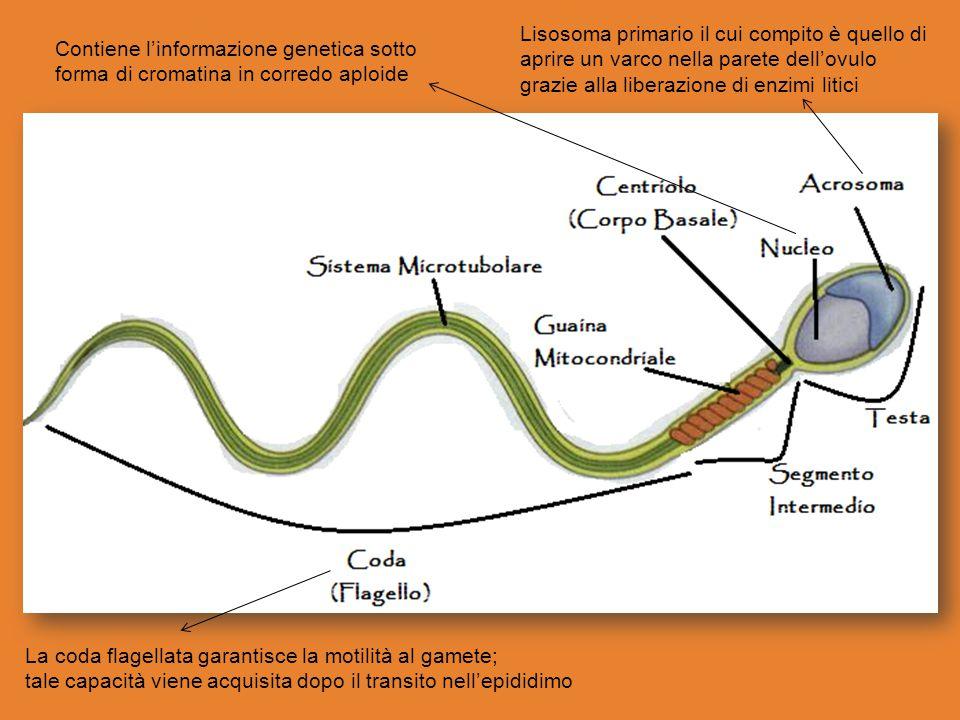 Lisosoma primario il cui compito è quello di aprire un varco nella parete dell'ovulo grazie alla liberazione di enzimi litici