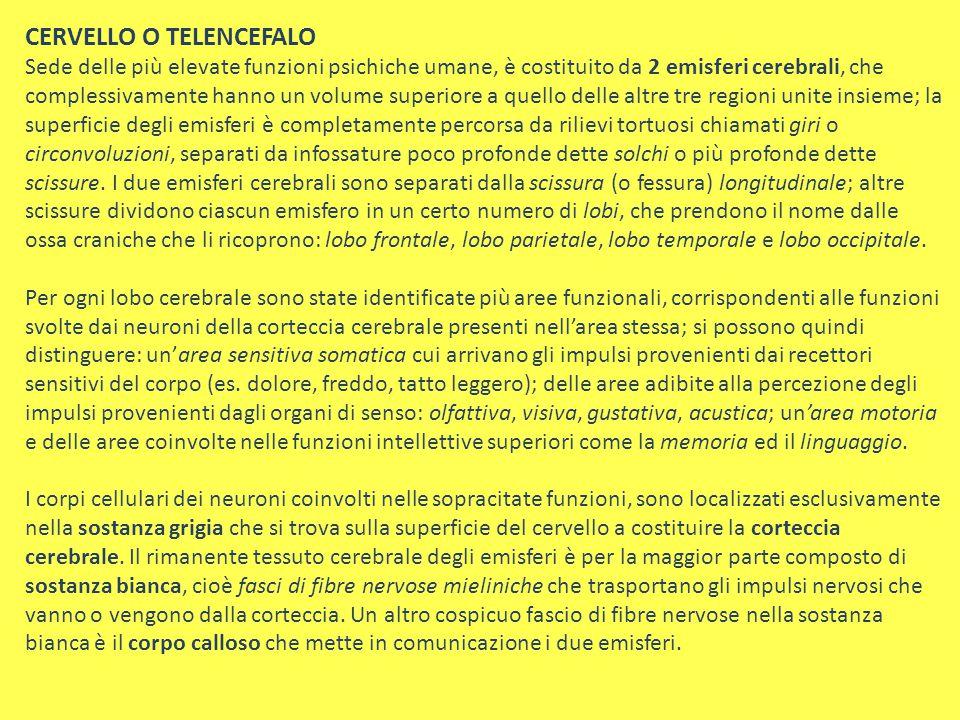 CERVELLO O TELENCEFALO