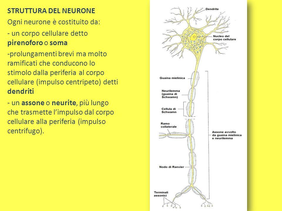 STRUTTURA DEL NEURONE Ogni neurone è costituito da: - un corpo cellulare detto pirenoforo o soma.