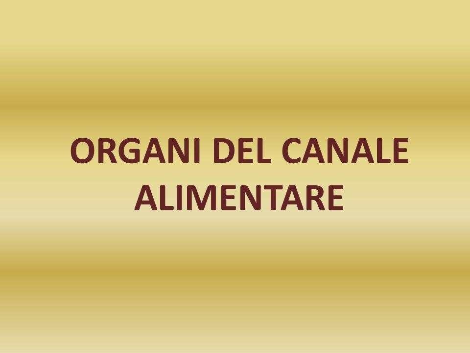 ORGANI DEL CANALE ALIMENTARE