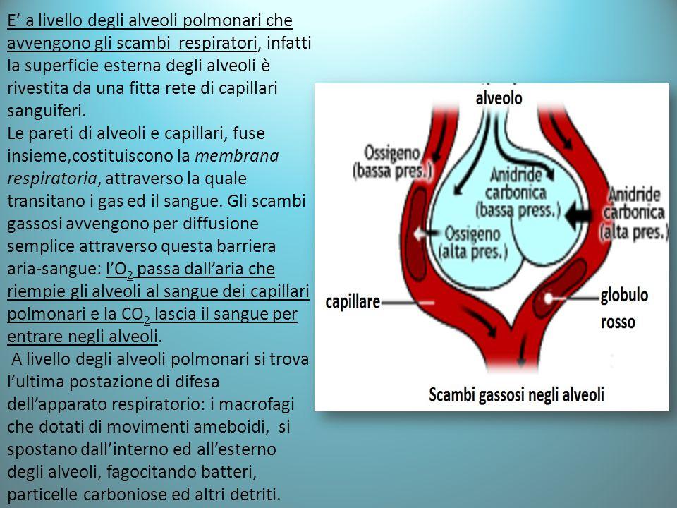 E' a livello degli alveoli polmonari che avvengono gli scambi respiratori, infatti la superficie esterna degli alveoli è rivestita da una fitta rete di capillari sanguiferi.