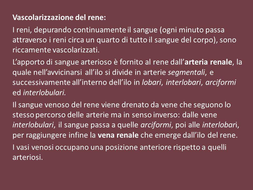 Vascolarizzazione del rene:
