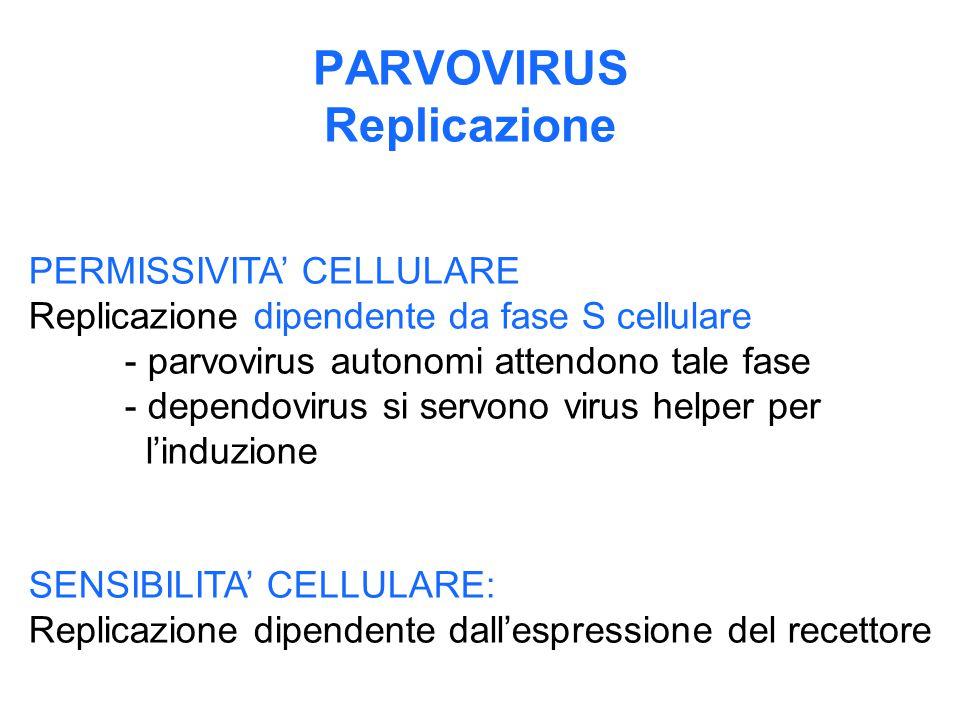 PARVOVIRUS Replicazione