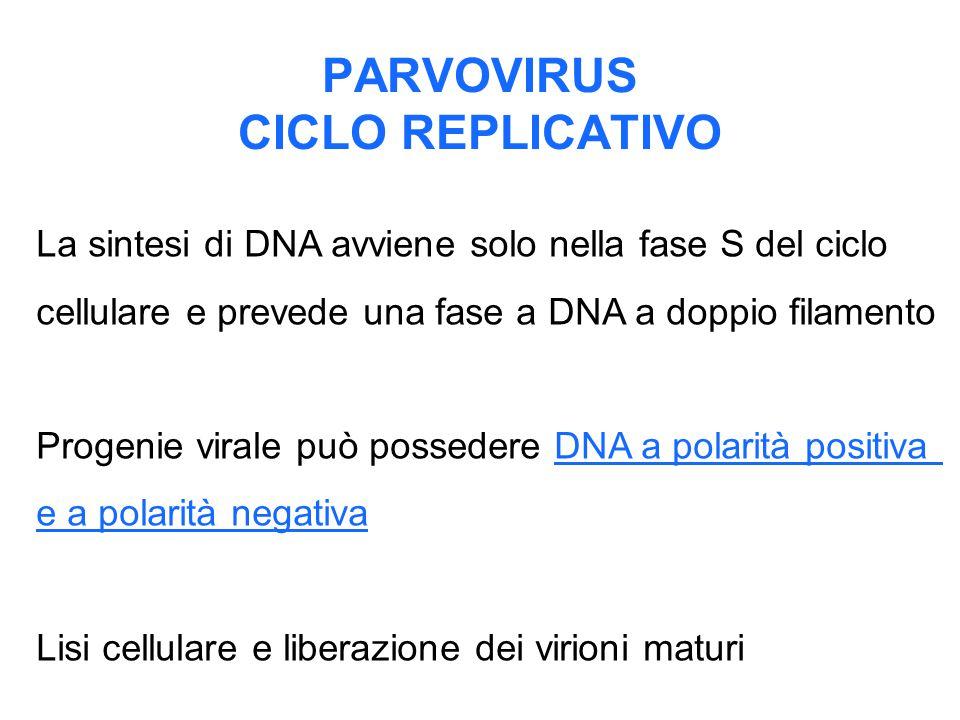 PARVOVIRUS CICLO REPLICATIVO