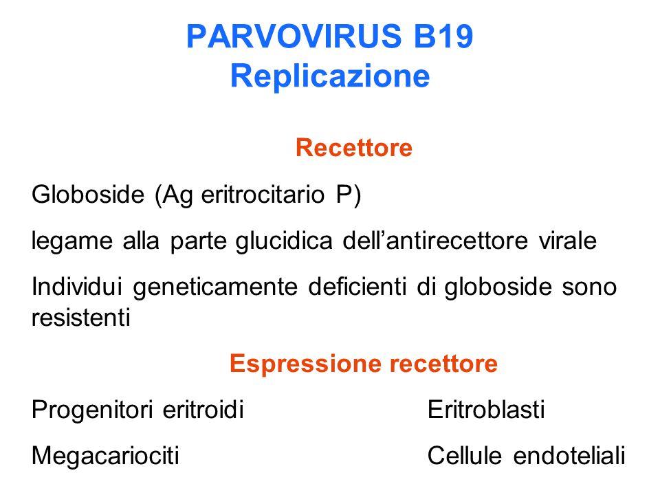 PARVOVIRUS B19 Replicazione