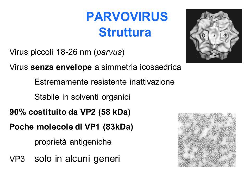 PARVOVIRUS Struttura Virus piccoli 18-26 nm (parvus)