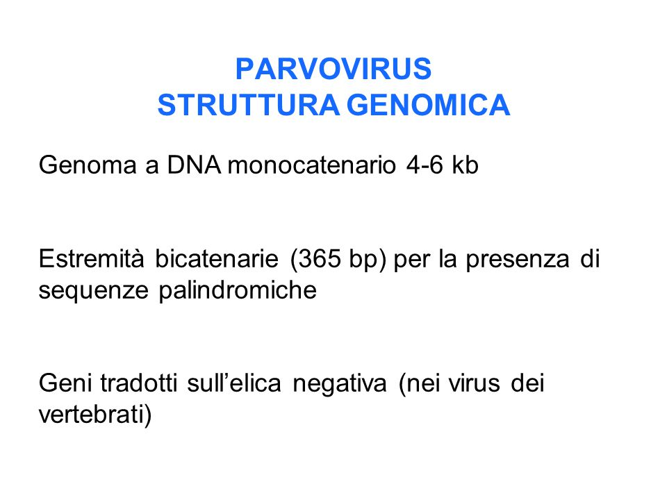PARVOVIRUS STRUTTURA GENOMICA