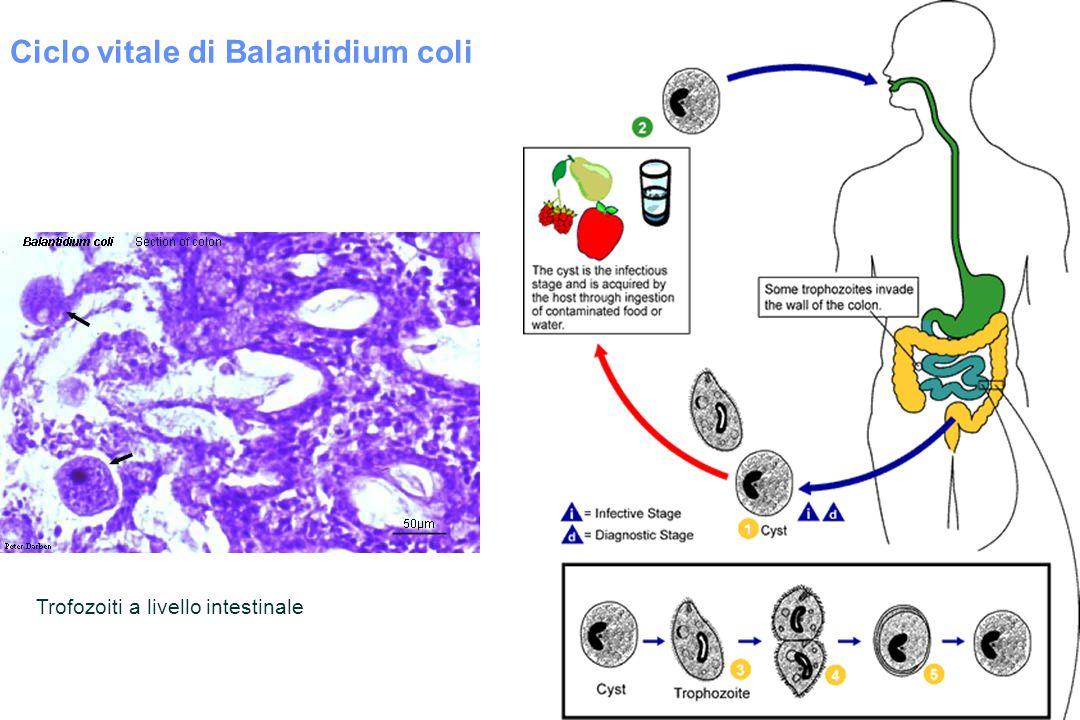 Ciclo vitale di Balantidium coli