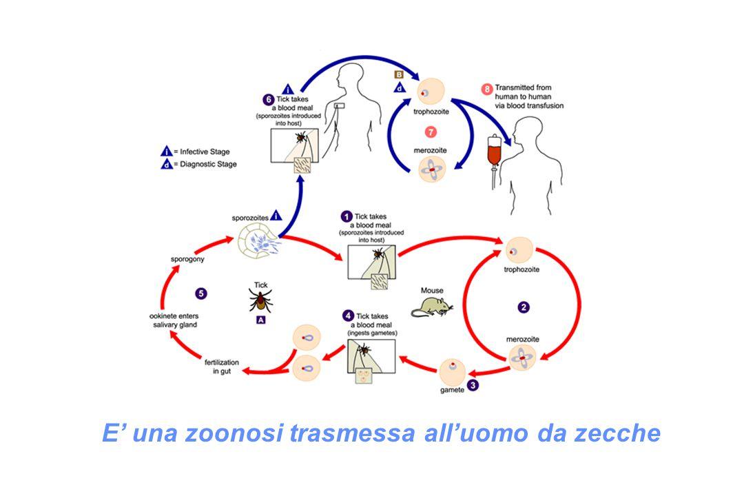 E' una zoonosi trasmessa all'uomo da zecche
