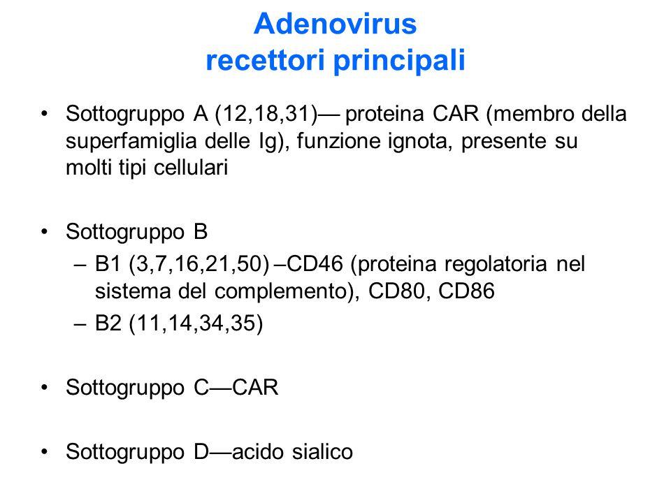 Adenovirus recettori principali