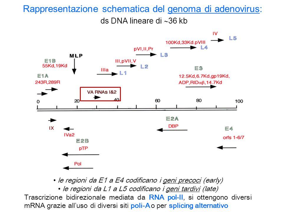 Rappresentazione schematica del genoma di adenovirus: ds DNA lineare di 36 kb