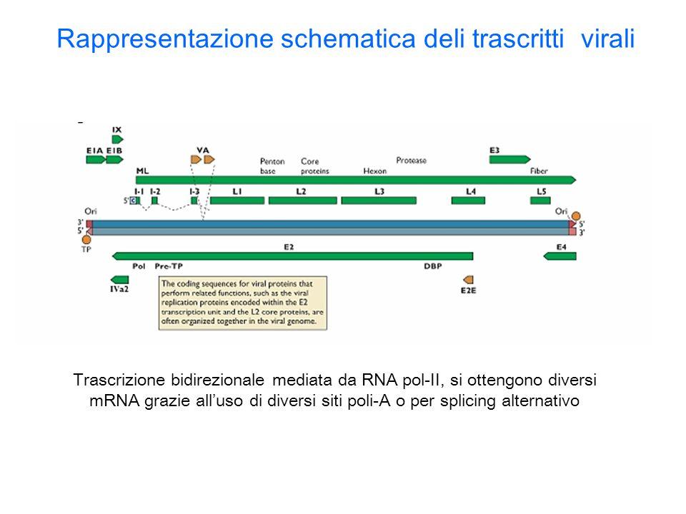 Rappresentazione schematica deli trascritti virali