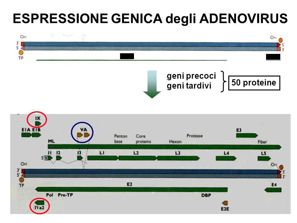ESPRESSIONE GENICA degli ADENOVIRUS