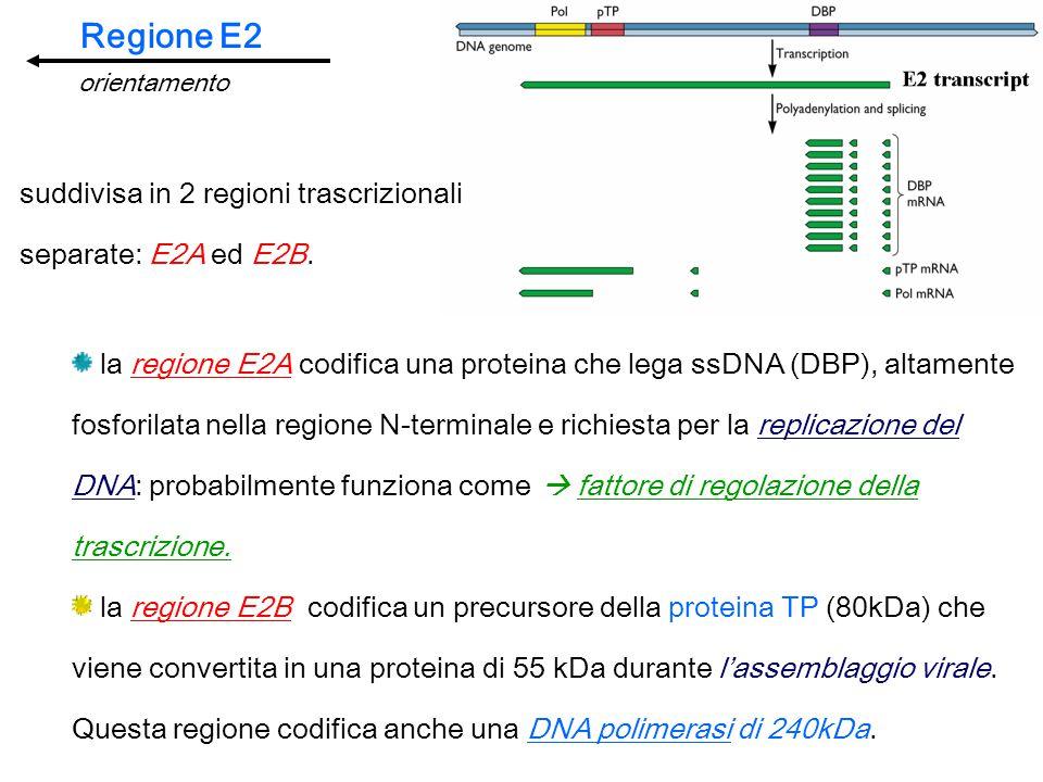 Regione E2 suddivisa in 2 regioni trascrizionali separate: E2A ed E2B.