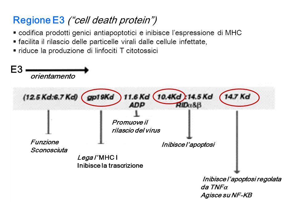 Regione E3 ( cell death protein )