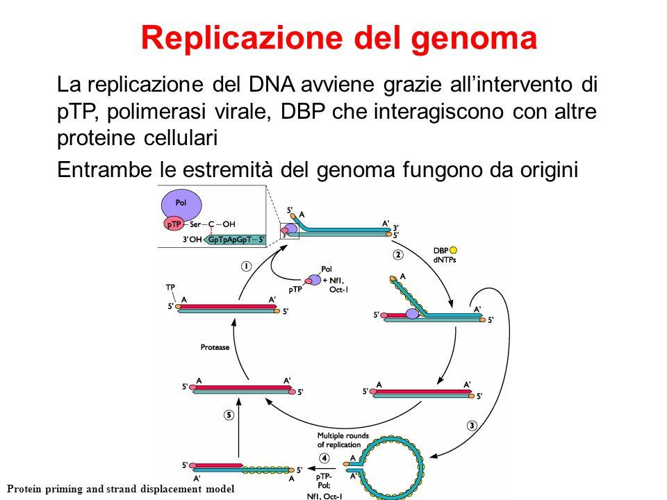 Replicazione del genoma