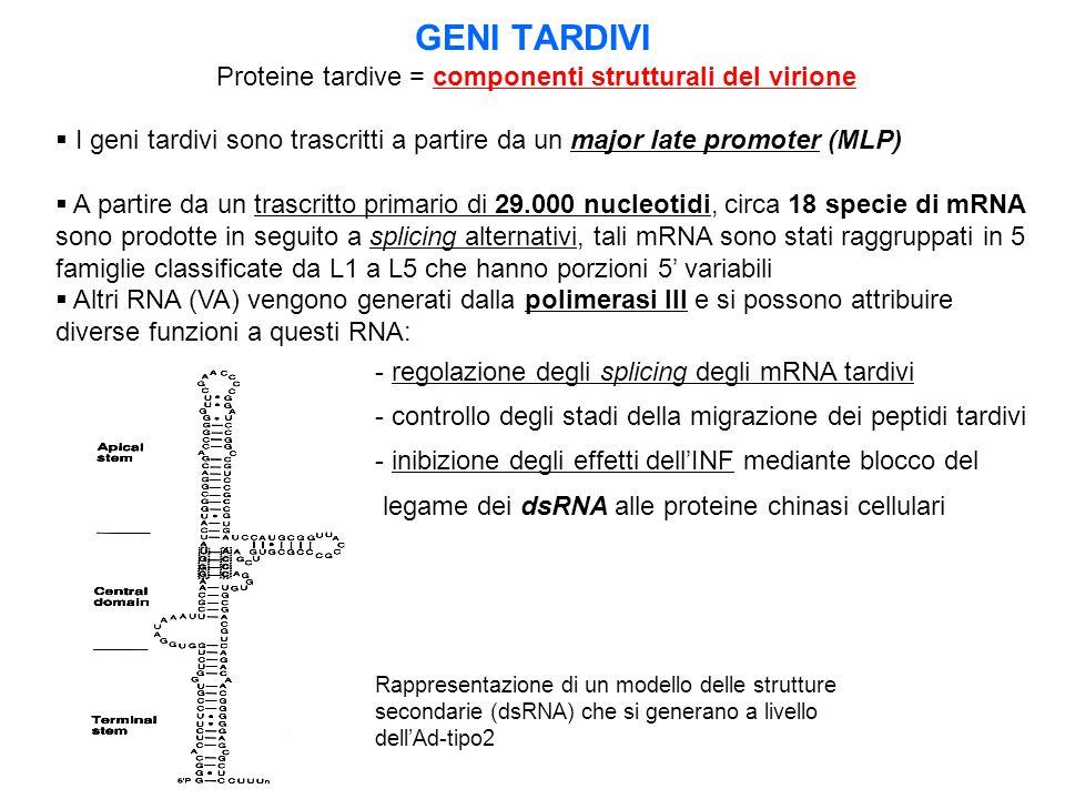GENI TARDIVI Proteine tardive = componenti strutturali del virione