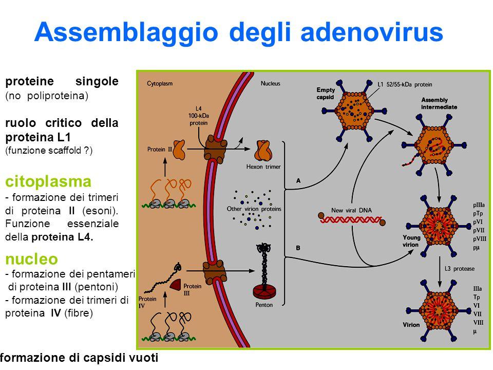 Assemblaggio degli adenovirus