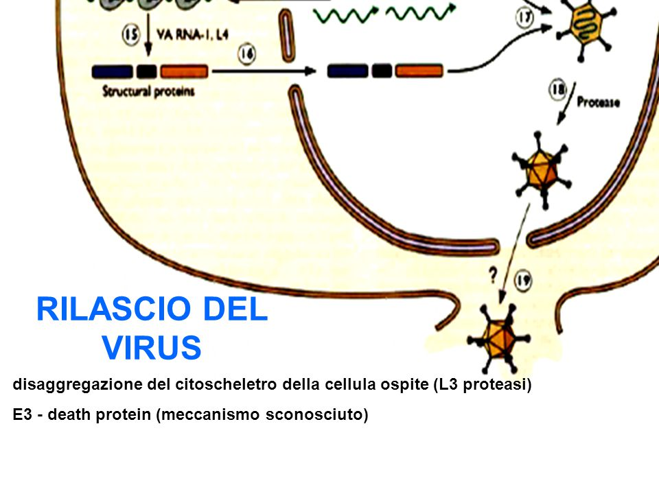 RILASCIO DEL VIRUS disaggregazione del citoscheletro della cellula ospite (L3 proteasi) E3 - death protein (meccanismo sconosciuto)