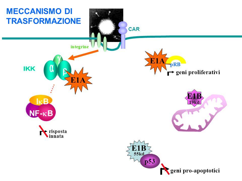 g MECCANISMO DI TRASFORMAZIONE E1A a b E1A E1B IB NF-kB E1B p53