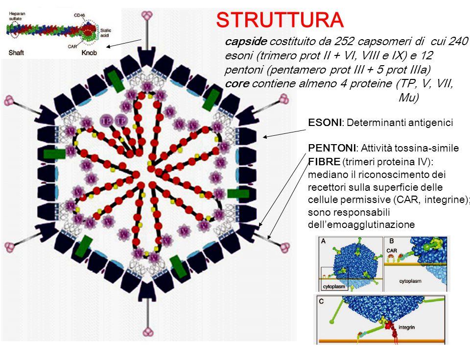 STRUTTURA capside costituito da 252 capsomeri di cui 240 esoni (trimero prot II + VI, VIII e IX) e 12 pentoni (pentamero prot III + 5 prot IIIa)