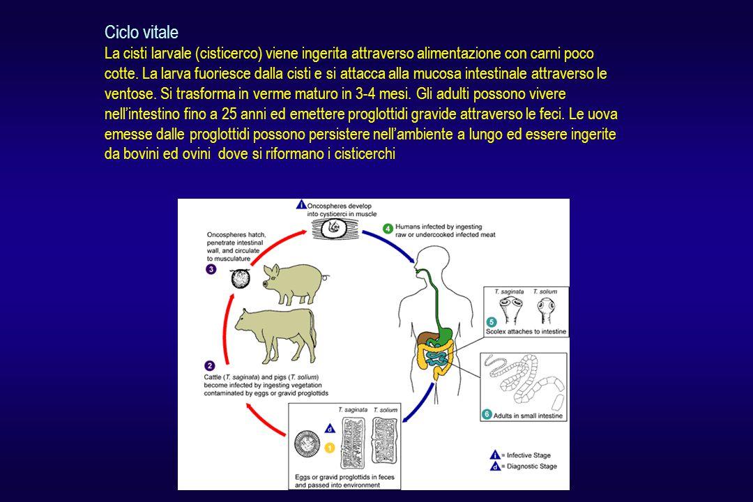 Ciclo vitale La cisti larvale (cisticerco) viene ingerita attraverso alimentazione con carni poco cotte.