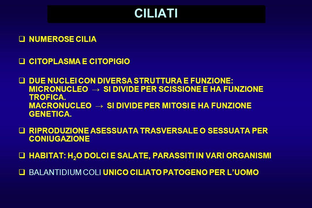 CILIATI NUMEROSE CILIA CITOPLASMA E CITOPIGIO